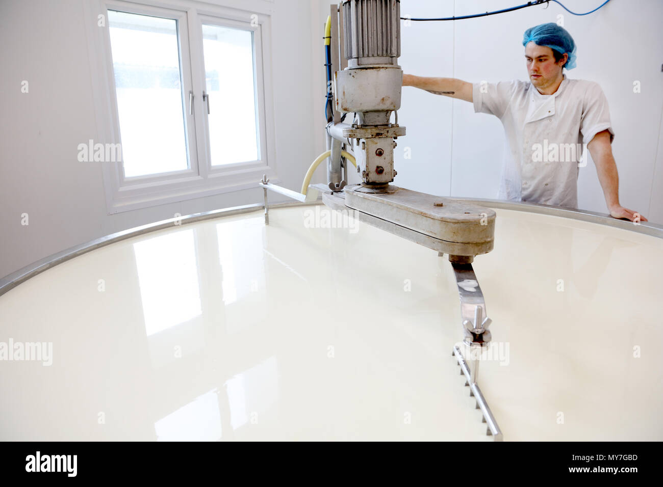 Cheese maker slicing the curds in the vat - Stock Image