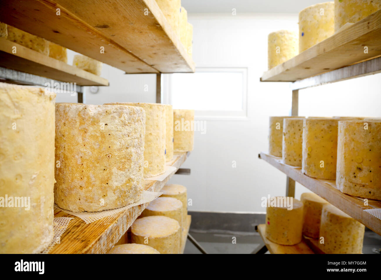 Shelves with large wheels of stilton cheese maturing - Stock Image