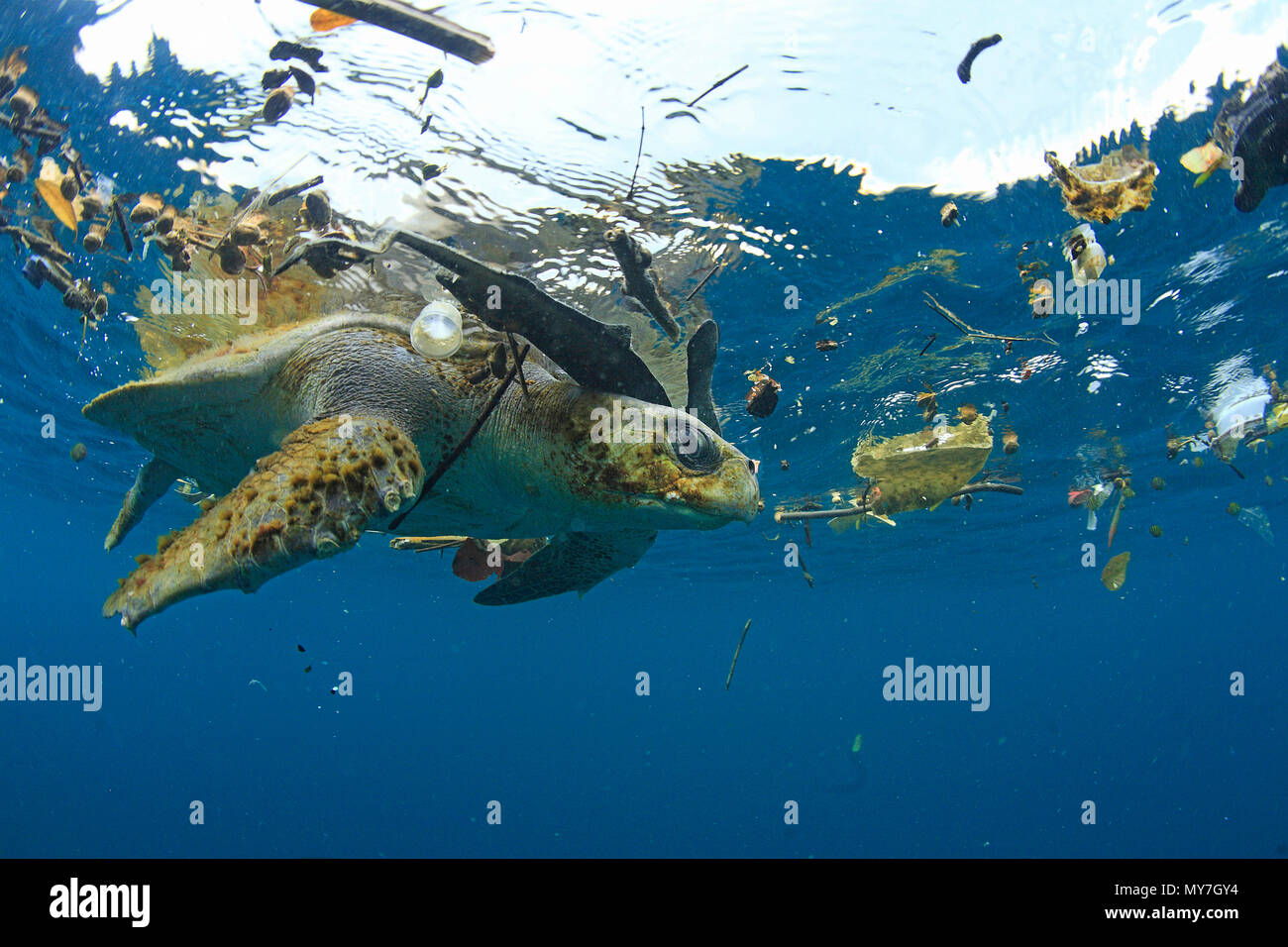 Olive ridley sea turtle (Lepidochelys olivacea) in water surrounded by plastic waste, Ile de Contador, Panama - Stock Image
