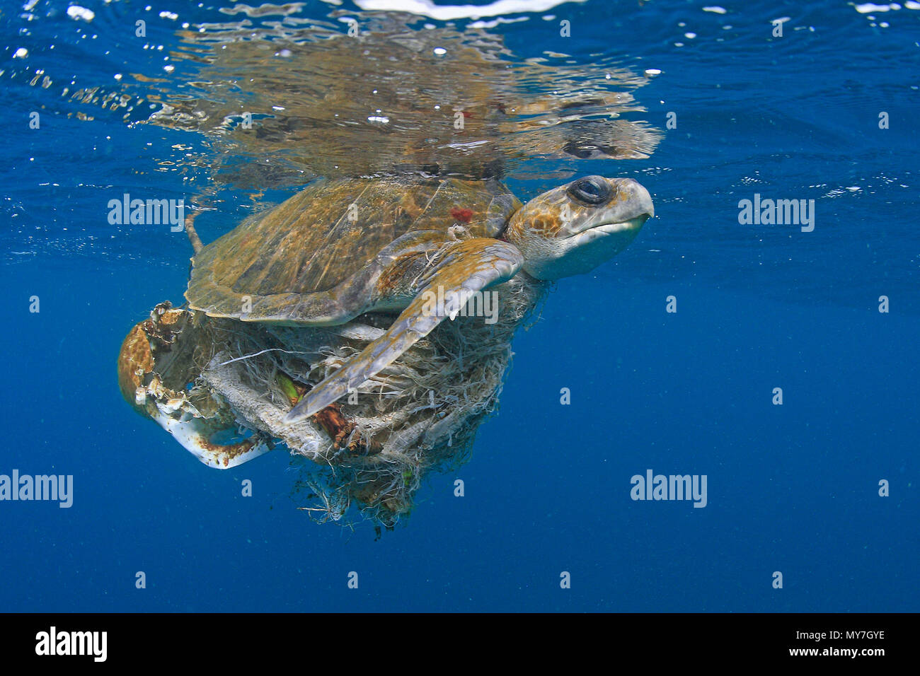 Olive ridley sea turtle (Lepidochelys olivacea) in water, tangled in plastic waste, Ile de Contador, Panama - Stock Image