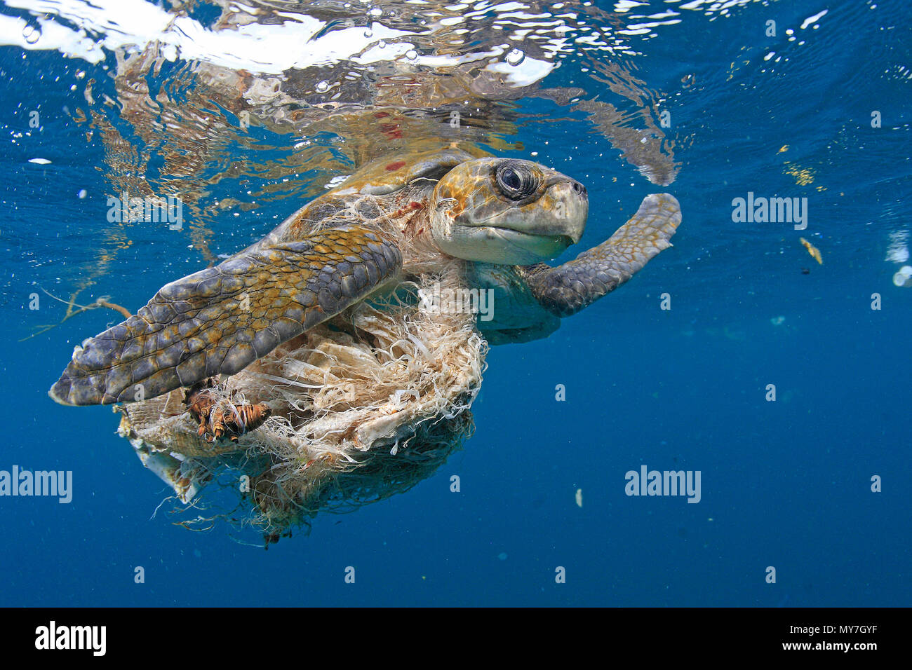 Olive ridley sea turtle (Lepidochelys olivacea) in water tangled in plastic waste, Ile de Contador, Panama - Stock Image