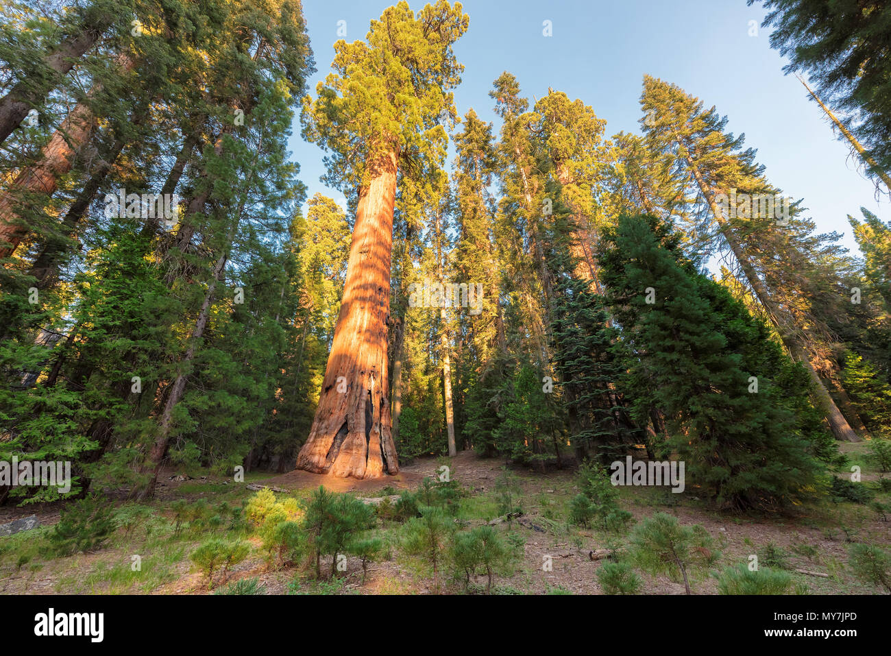 Giant Sequoia Trees - Stock Image