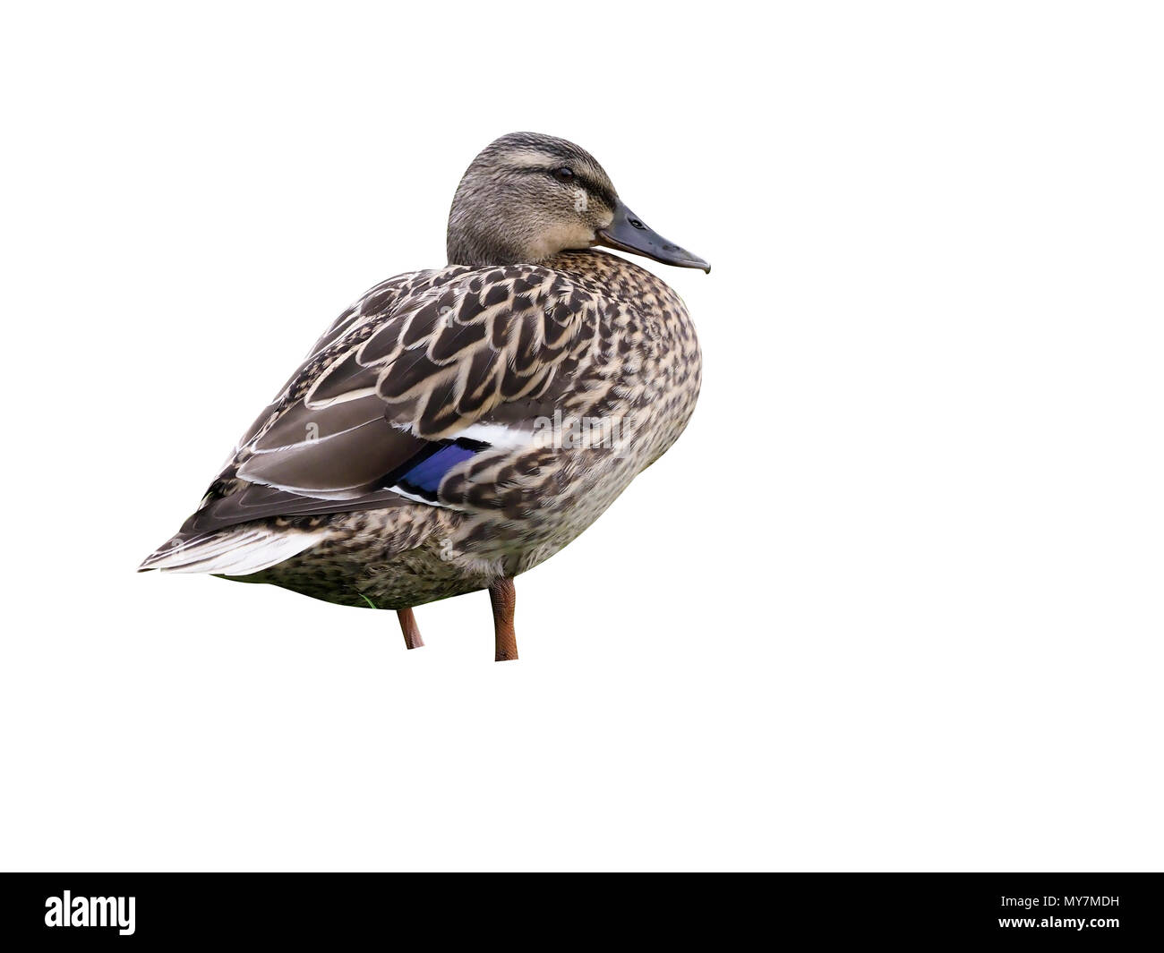 Mallard, Anas platyrhynchos, single female on grass, Midlands, April 2017 - Stock Image