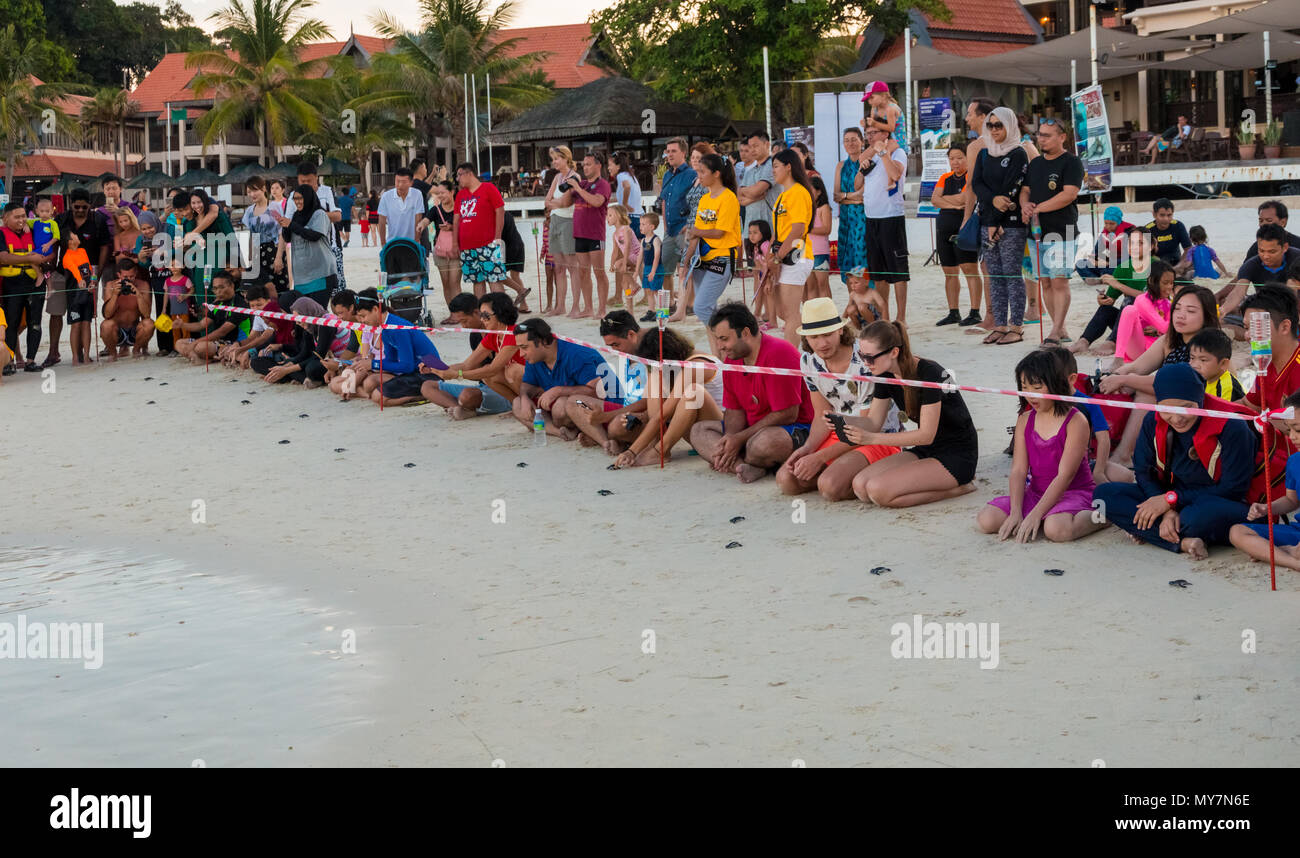 Tourists kneeling on the beach and releasing little cute green sea turtle (Chelonia mydas) hatchlings which instinctively head directly into the sea. - Stock Image