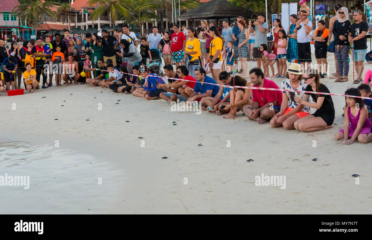 Tourists watching how little cute green sea turtle (Chelonia mydas) hatchlings instinctively head directly into the sea, after they have been released - Stock Image