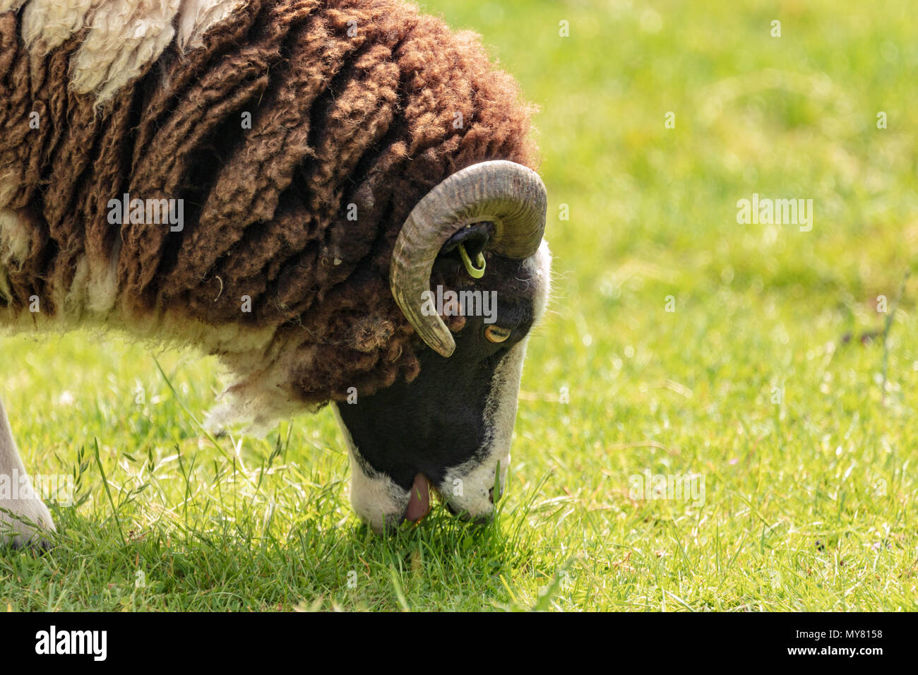 Jacob sheep portrait showing horns Stock Photo