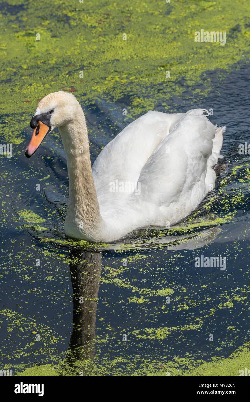 Mute swan swims in pondweed. - Stock Image
