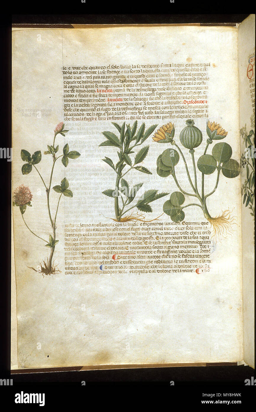 . English: arapion the Younger, Translation of the herbal (The 'Carrara Herbal'), including the Liber agrega, Herbolario volgare; De medicamentis, with index (ff. 263-265) Italy, N. (Padua); between c. 1390 and 1404 . between c. 1390 and 1404. An Italian translation, possibly from a Latin translation, of a treatise orginally written in Arabic by Serapion the Younger (Ibn Sarabi, likely 12th century). 99 Carrara Herbal06 - Stock Image