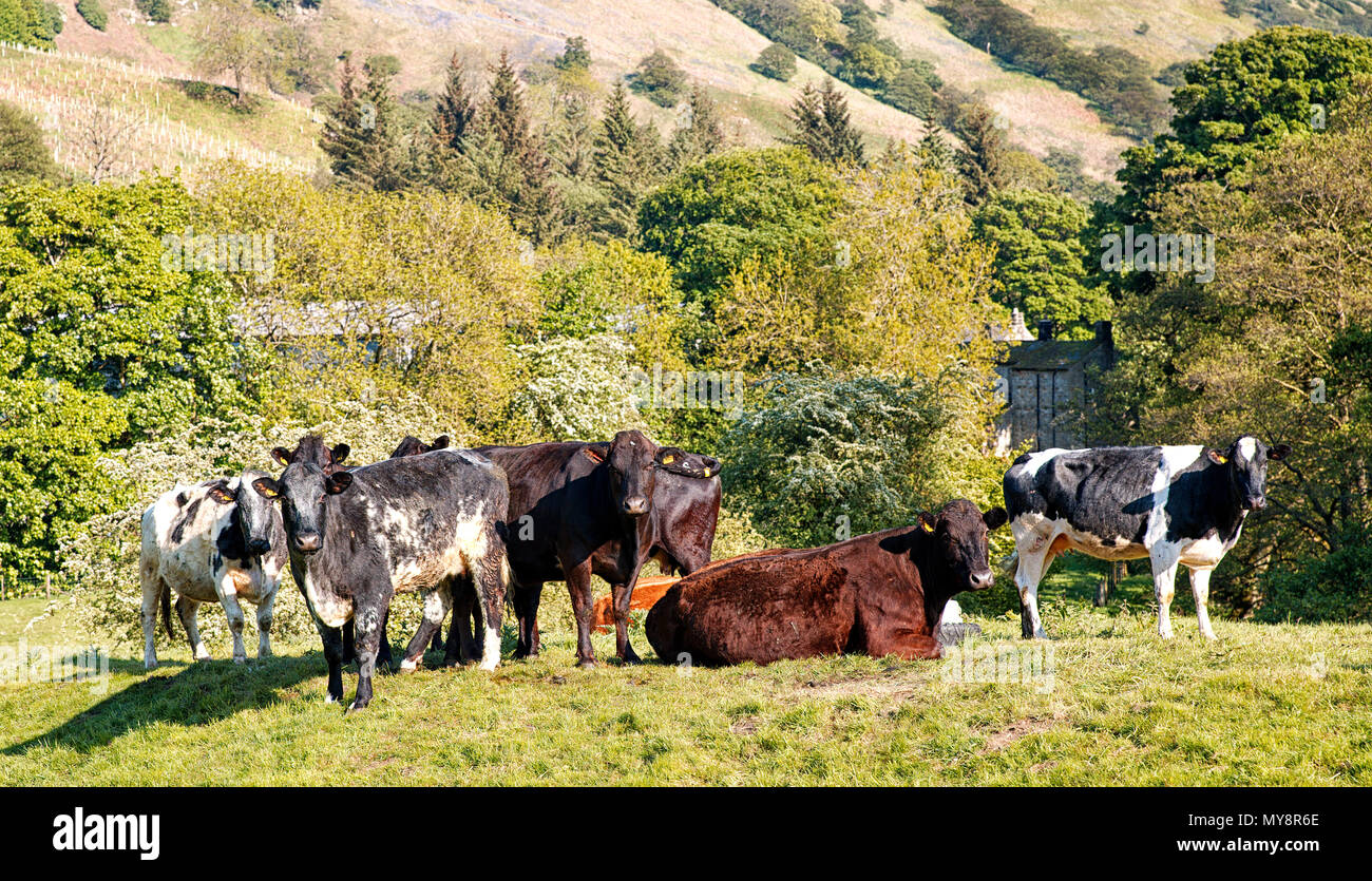 Cattle in the tranquil Nidd Valley Nidderdale North Yorkshire UK - Stock Image