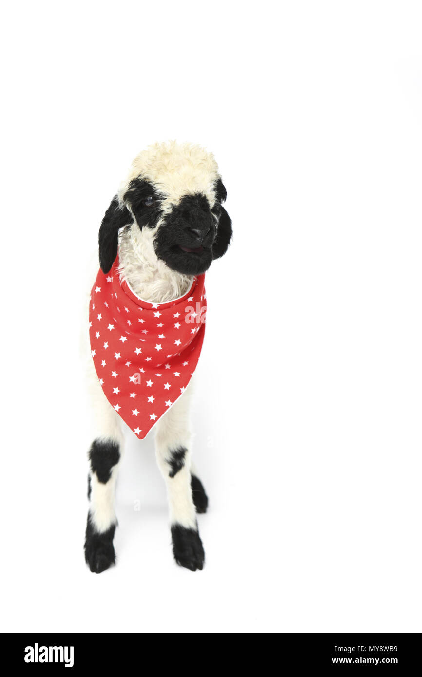 Lamb 6 Days Old Standing Wearing Red Scarf With