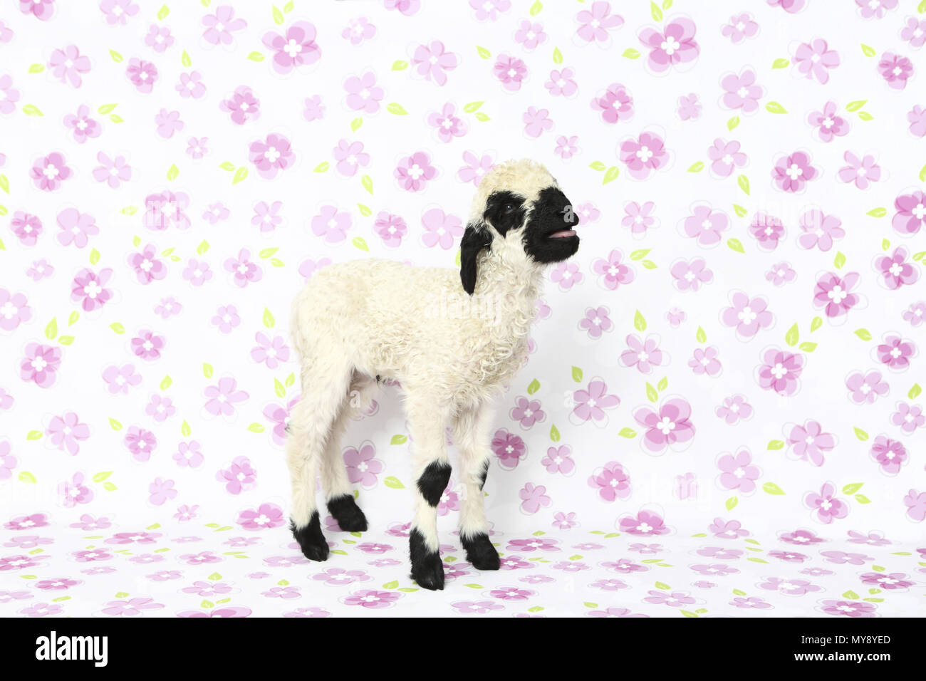 Valais Blacknose Sheep. Lamb (6 days old) standing while bleating. Studio picture against a white background with flowers. Germany - Stock Image