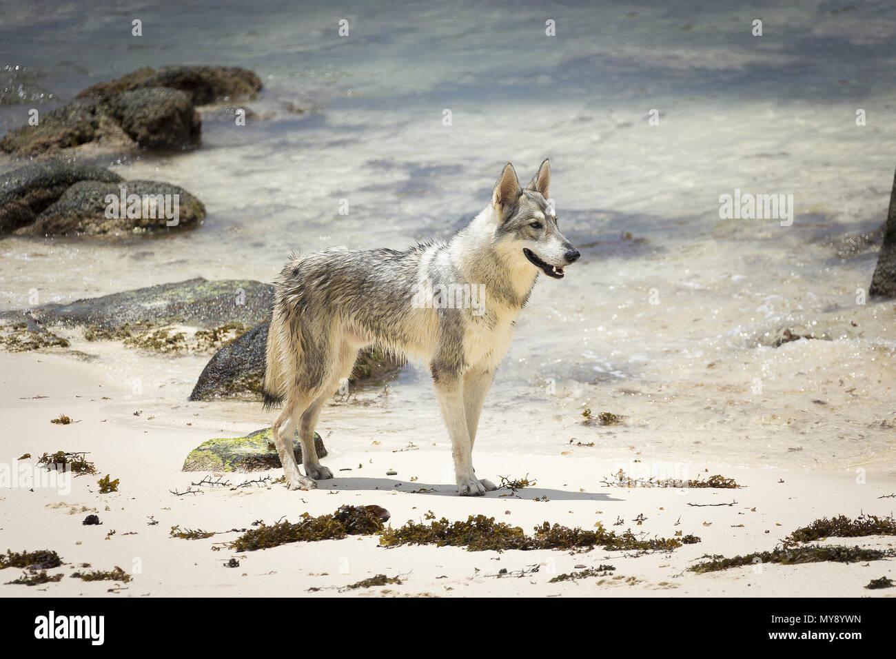 Tamaskan Dog. Adult dog standing on a beach. Seychelles - Stock Image