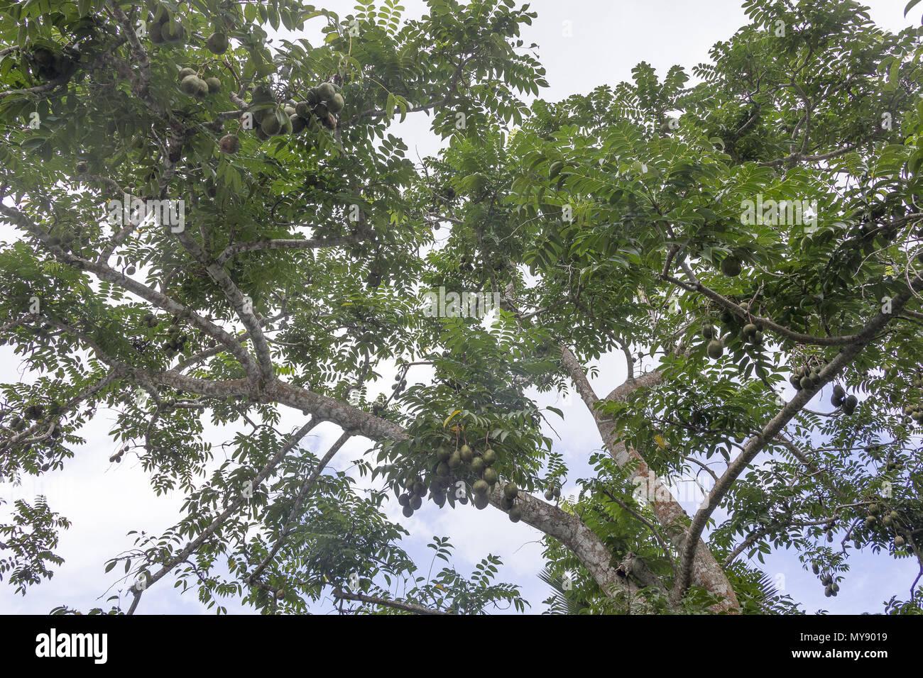 Golden Plum (Spondias dulcis). View up the trunk of a tall tree. Seychelles - Stock Image