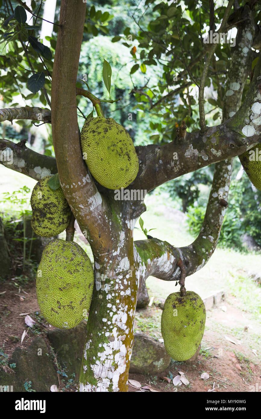 Jackfruit (Artocarpus heterophyllus). Edible fruit, cultivated in the tropics world wide. Seychelles - Stock Image
