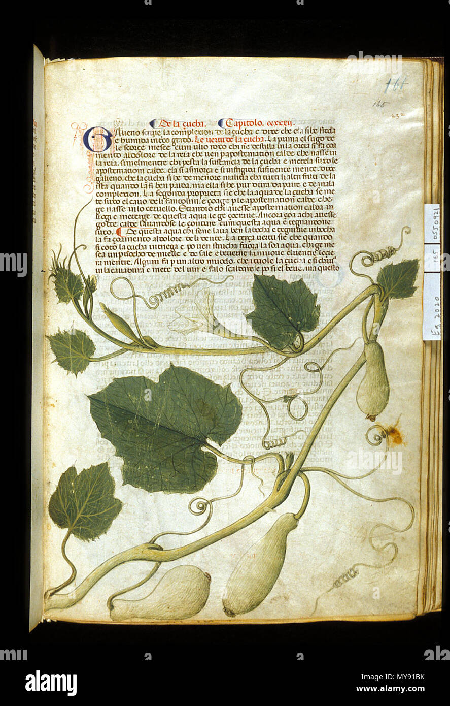 . English: arapion the Younger, Translation of the herbal (The 'Carrara Herbal'), including the Liber agrega, Herbolario volgare; De medicamentis, with index (ff. 263-265) Italy, N. (Padua); between c. 1390 and 1404 . between c. 1390 and 1404. An Italian translation, possibly from a Latin translation, of a treatise orginally written in Arabic by Serapion the Younger (Ibn Sarabi, likely 12th century). 99 Carrara Herbal01 - Stock Image
