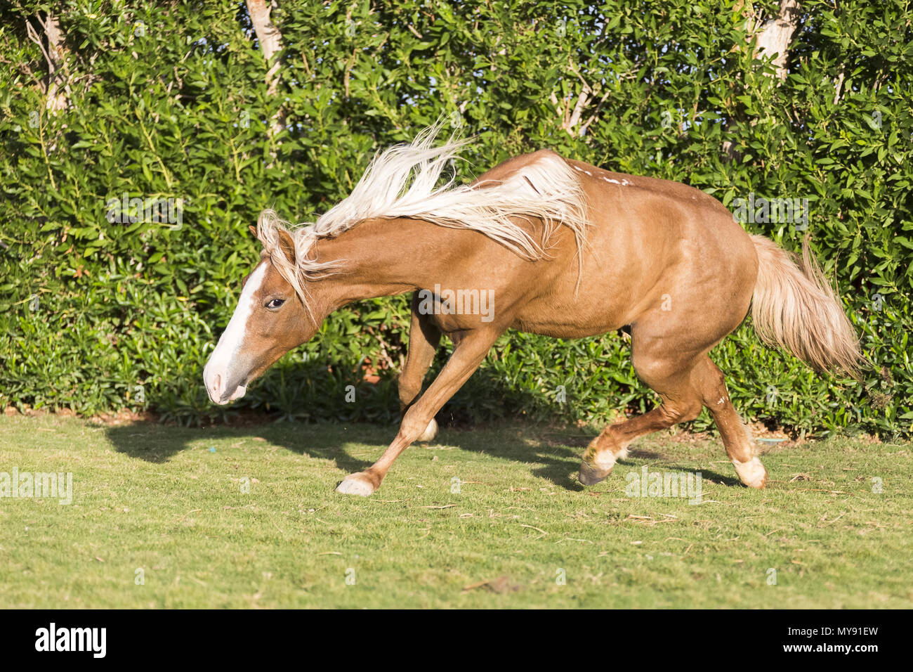 Welsh Pony. Chestnut mare slipping on a lawn. Egypt - Stock Image
