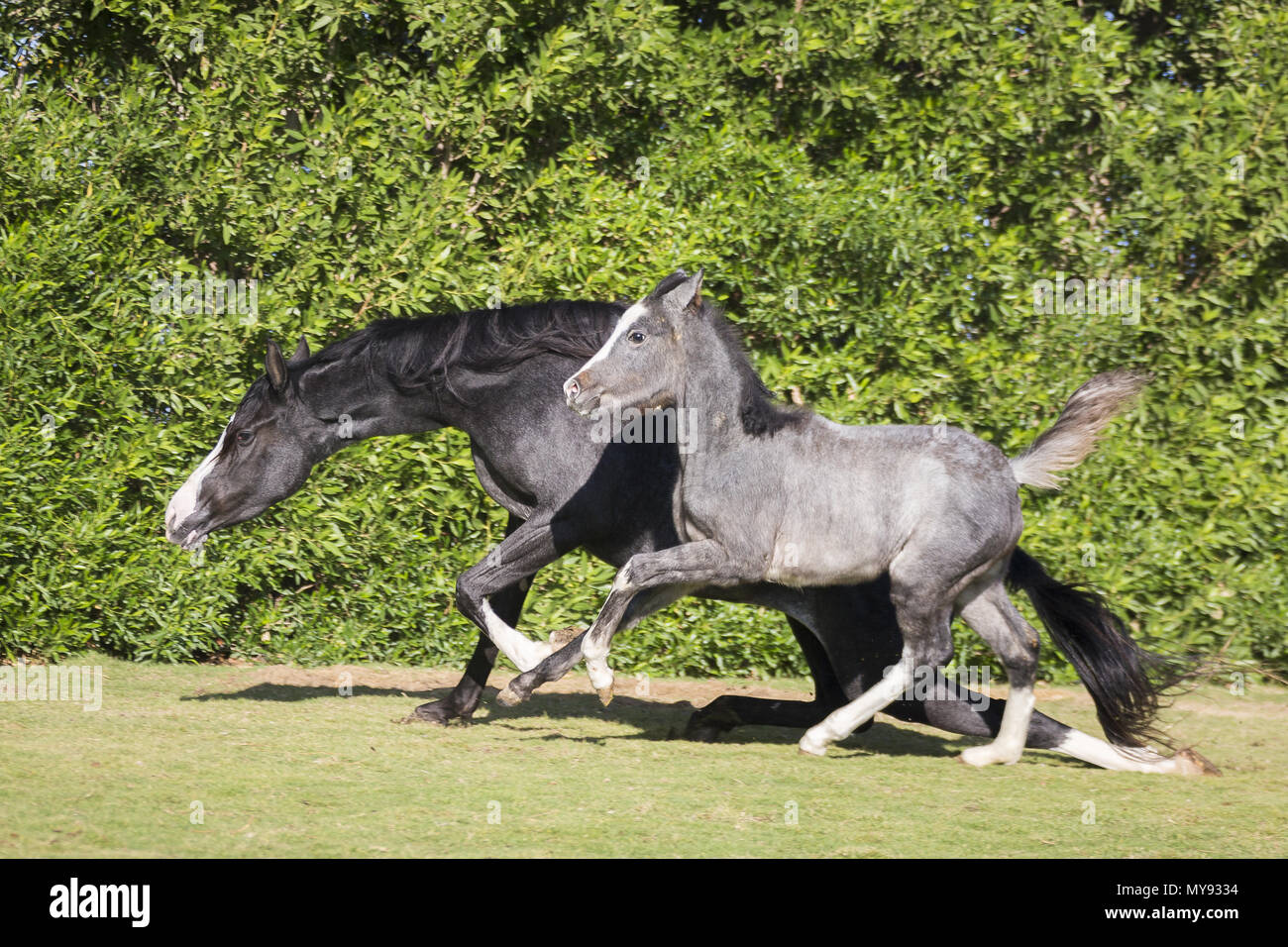 Barb Horse. Mare with filly-foal galopping on a lawn. The mare is slipping. Egypt - Stock Image