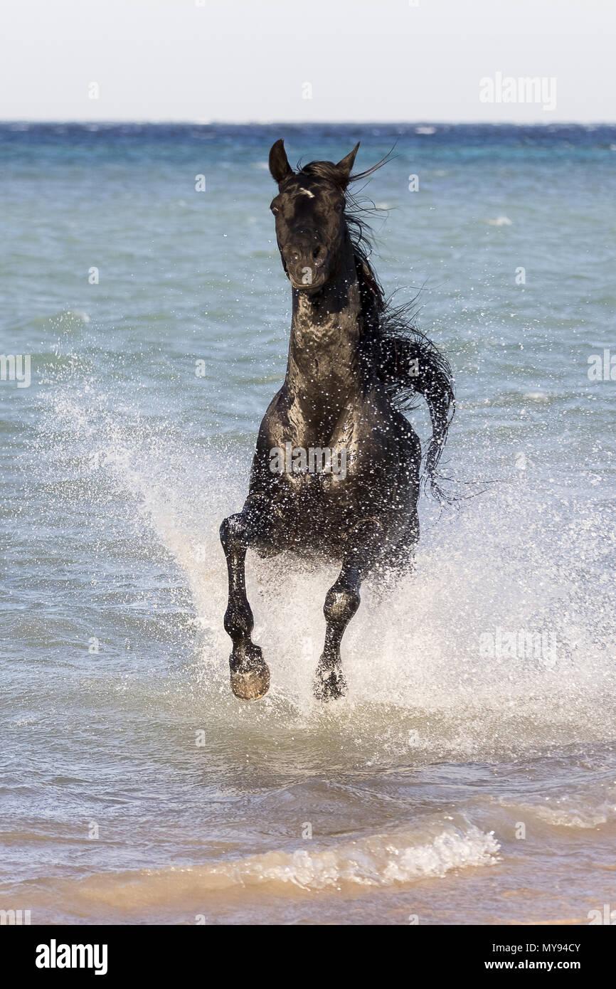 Arabian Horse. Black stallion galloping on a beach. Egypt - Stock Image