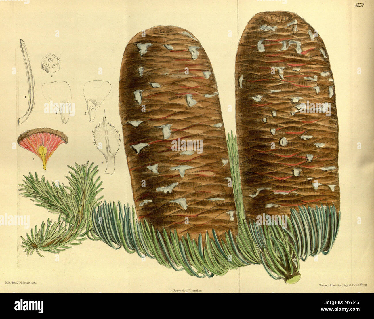 . Abies magnifica, Pinaceae . 1914. M.S. del., J.N.Fitch lith. 21 Abies magnifica 140-8552 - Stock Image