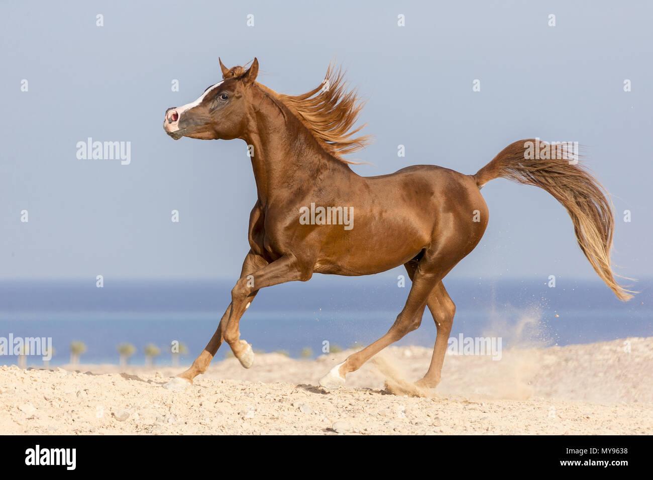 Arabian Horse. Chestnut stallion galloping on a beach. Egypt - Stock Image