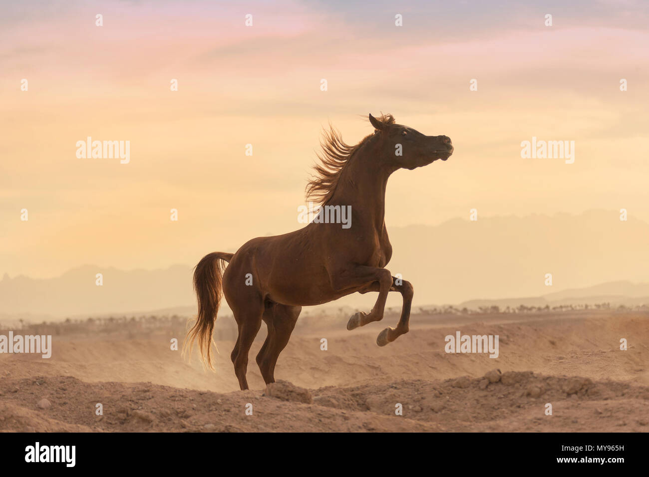 Arabian Horse. Chestnut stallion rearing in the desert at sunset. Egypt - Stock Image