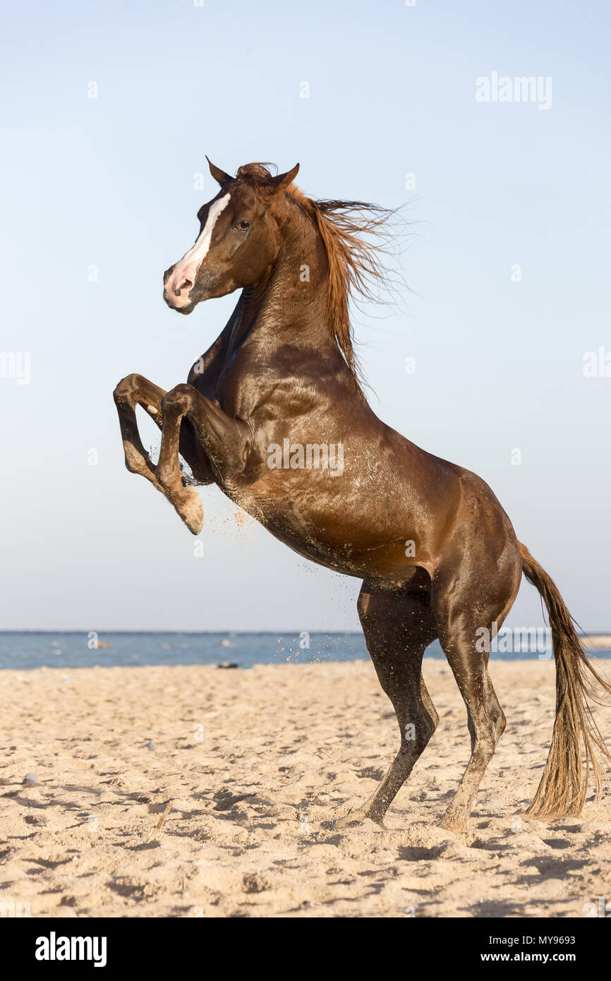 Arabian Horse. Chestnut stallion rearing on a beach. Egypt - Stock Image