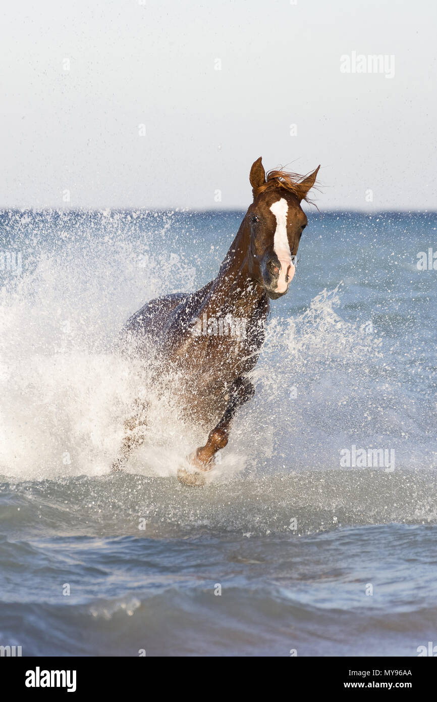 Arabian Horse. Chestnut stallion galloping in the sea. Egypt - Stock Image