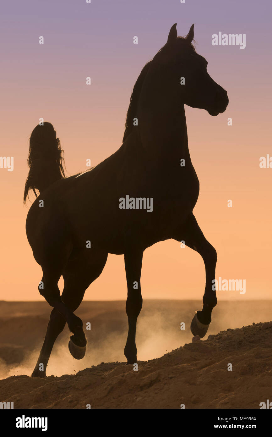 Arabian Horse. Black stallion trotting in the desert, silhouetted against the evening sky. Egypt - Stock Image