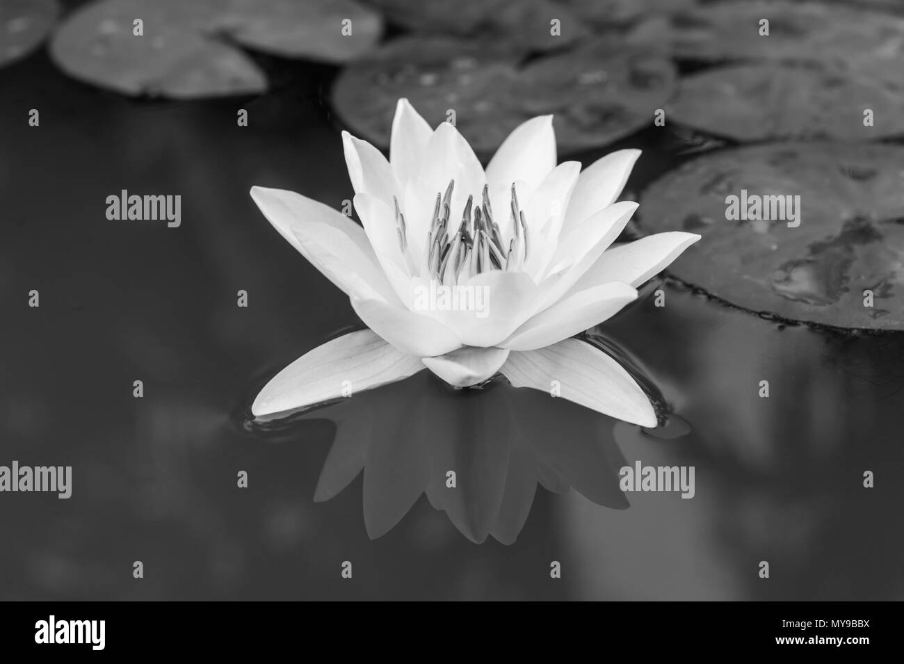 Beautiful Lotus Flower In Pond In Black And White Tone Stock Photo