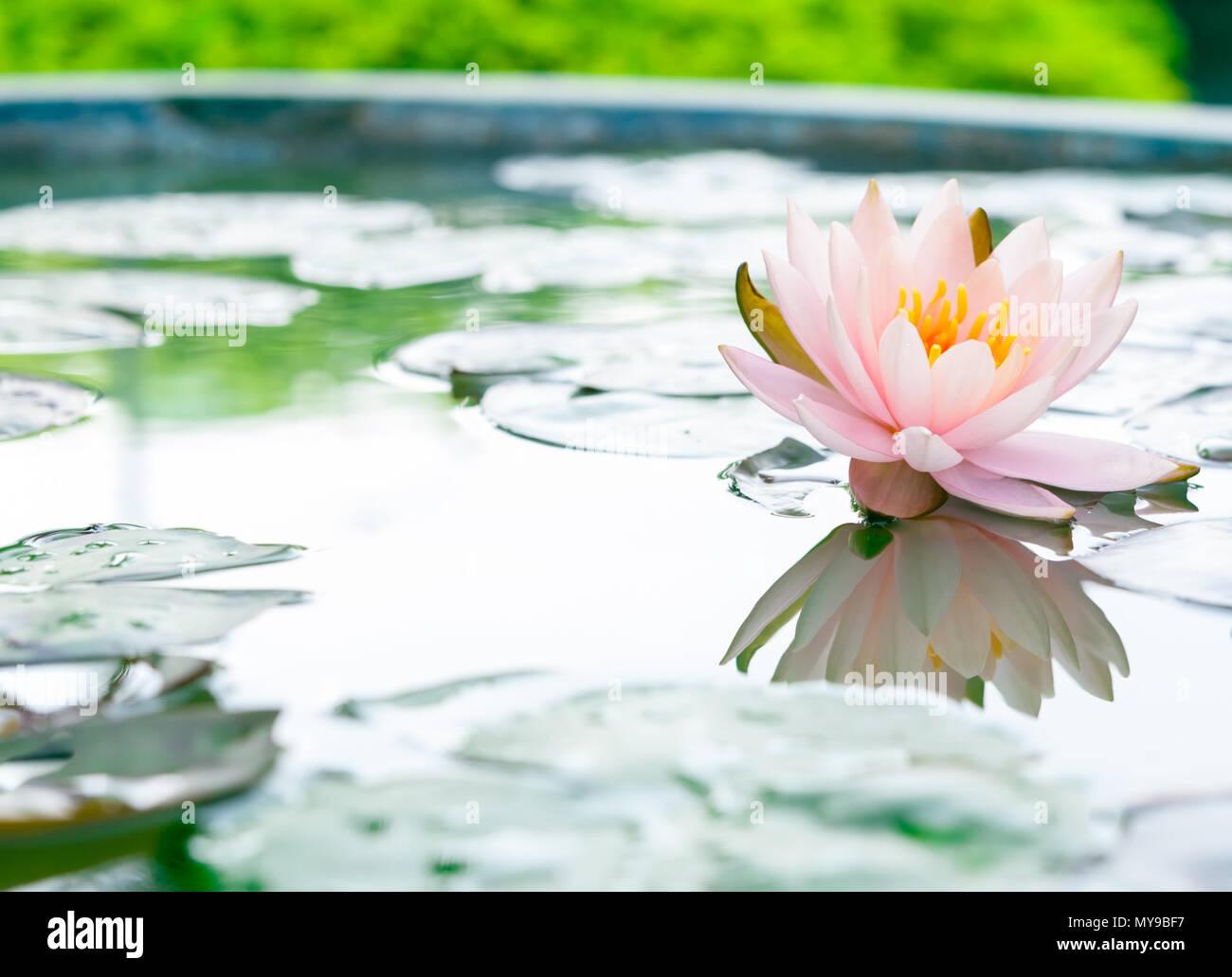 Beautiful pink lotus flower in pond stock photo 188906011 alamy beautiful pink lotus flower in pond mightylinksfo