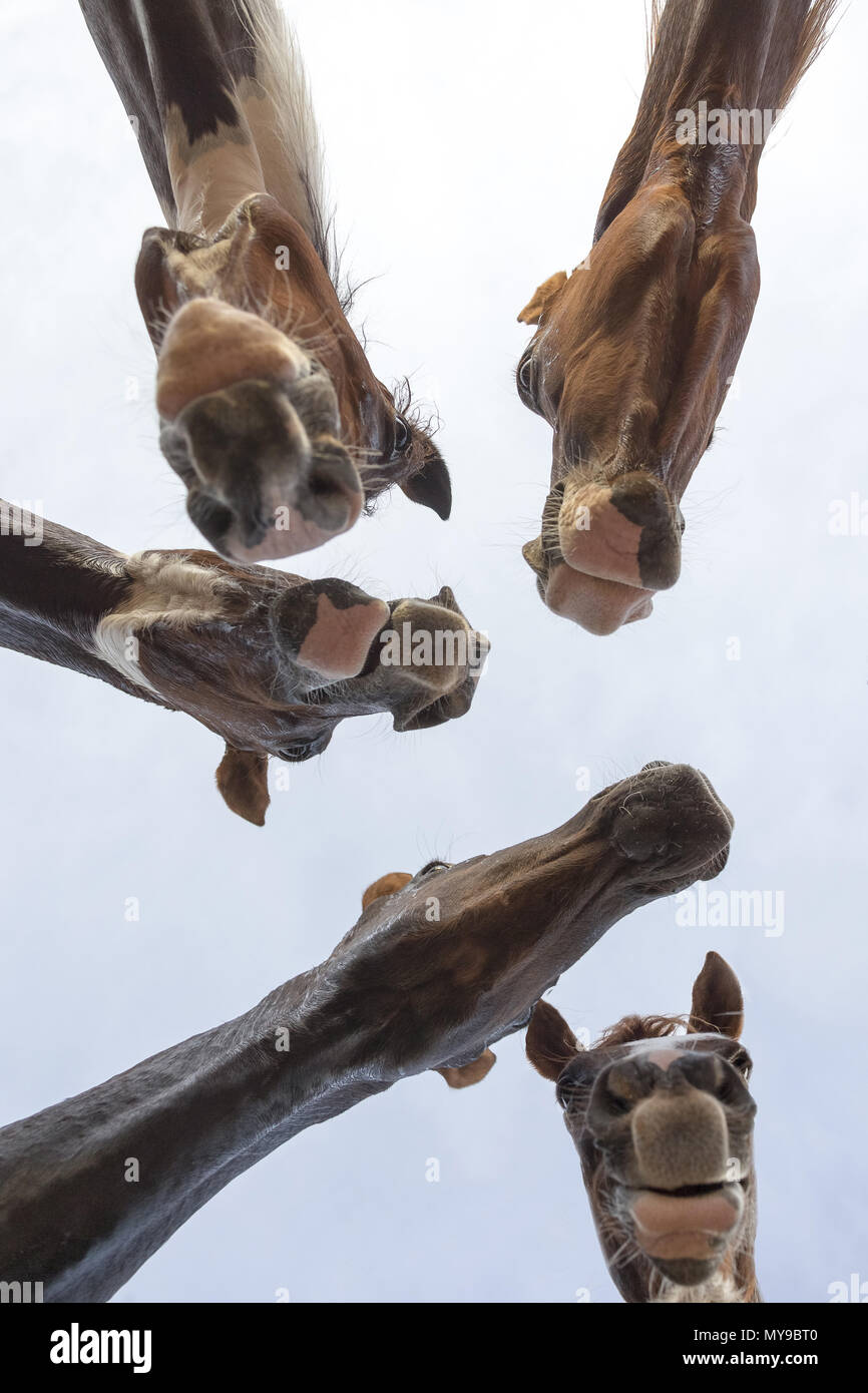 Arabian Horse. Four juvenile mares waiting for a reward, seen from underneath. Egypt - Stock Image