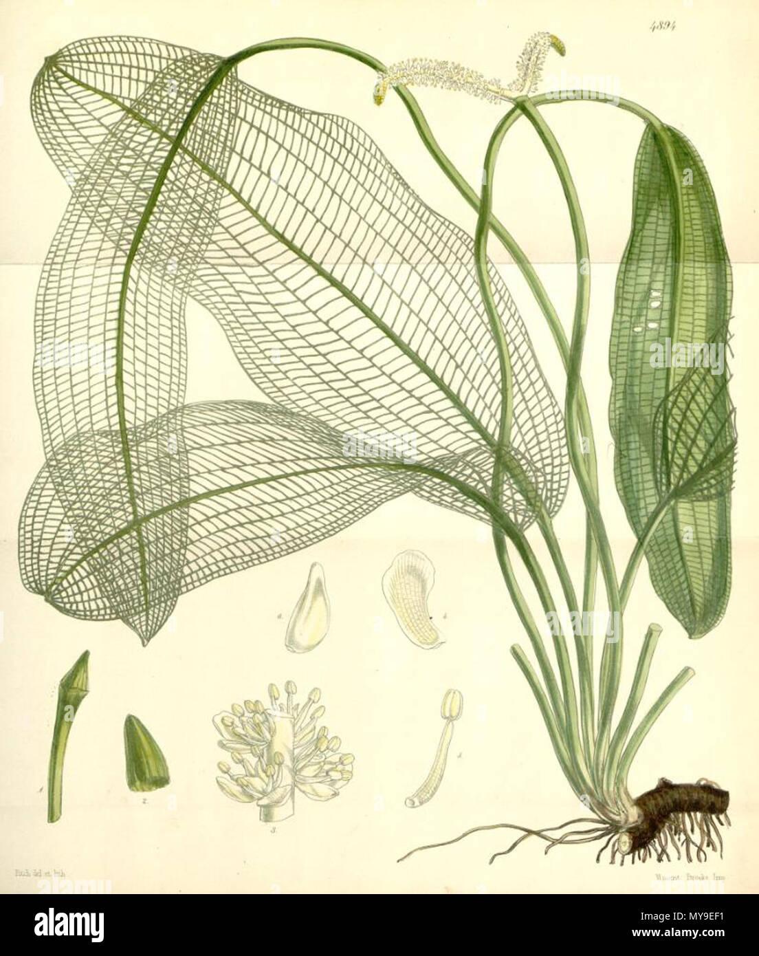 . Illustration of Aponogeton madgascariensis (Syn. Ouvirandra fenestralis) . 1856. Sir William Jackson Hooker (1785 - 1865) 46 Aponogeton madagascariensis - Stock Image