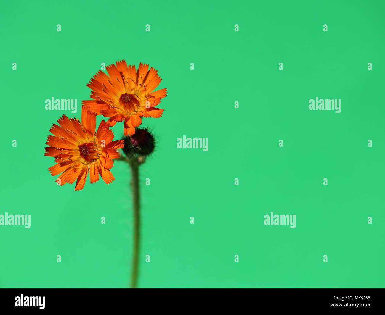 Orange colored flower against mint green background. Vibrant orange colored  wildflower, orange hawk bit, pure summer floral template with copy space. - Stock Image