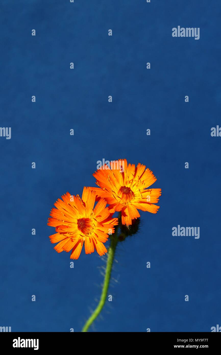 Orange colored flower against rich blue background. Vibrant orange colored wildflower, orange hawk bit, pure summer floral template with copy space. - Stock Image
