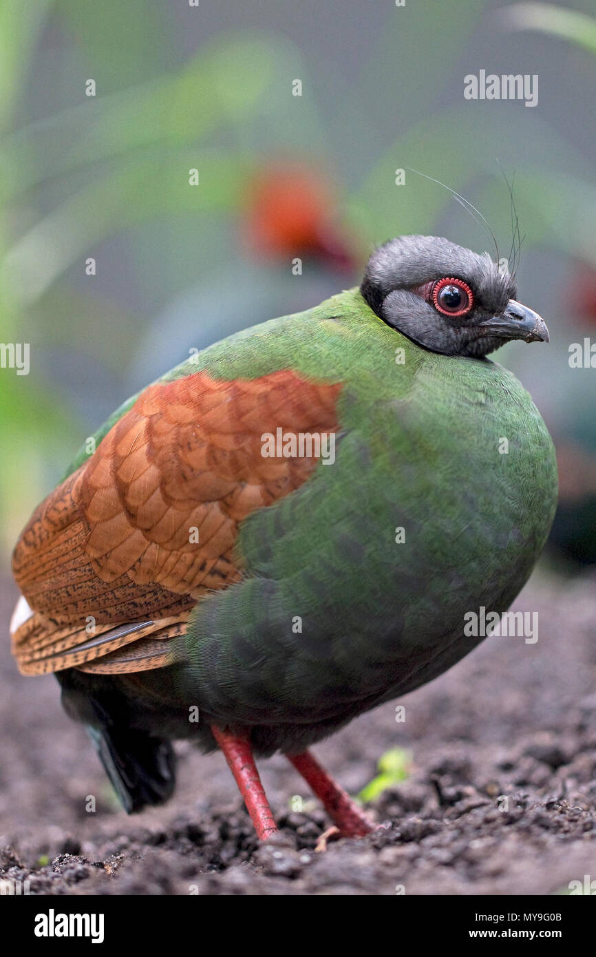 Crested Partridge (Rollulus rouloul) CAPTIVE - Stock Image