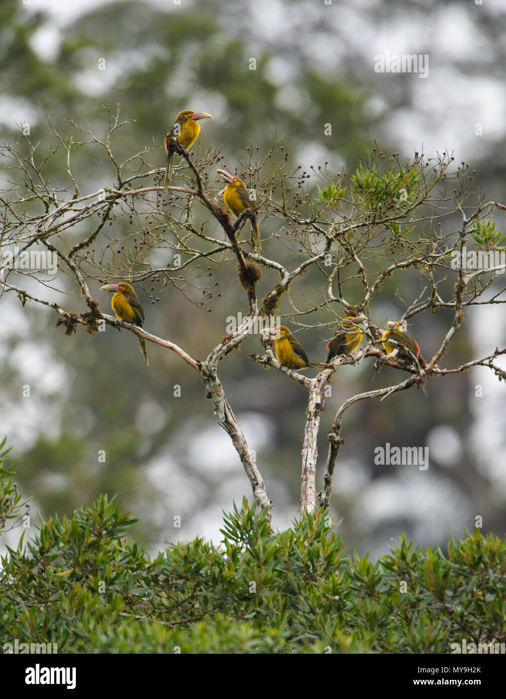 A group of Saffron Toucanets feeding at the canopy of a tree in the Atlantic Rainforest - Stock Image