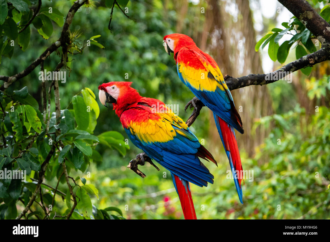 Pair of Scarlet Macaws (Ara macao cyanopterus) in Costa Rica - Stock Image