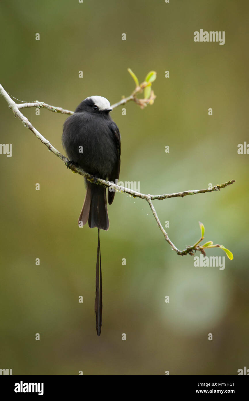 A Long-tailed Tyrant (Colonia colonus) from SE Brazil - Stock Image