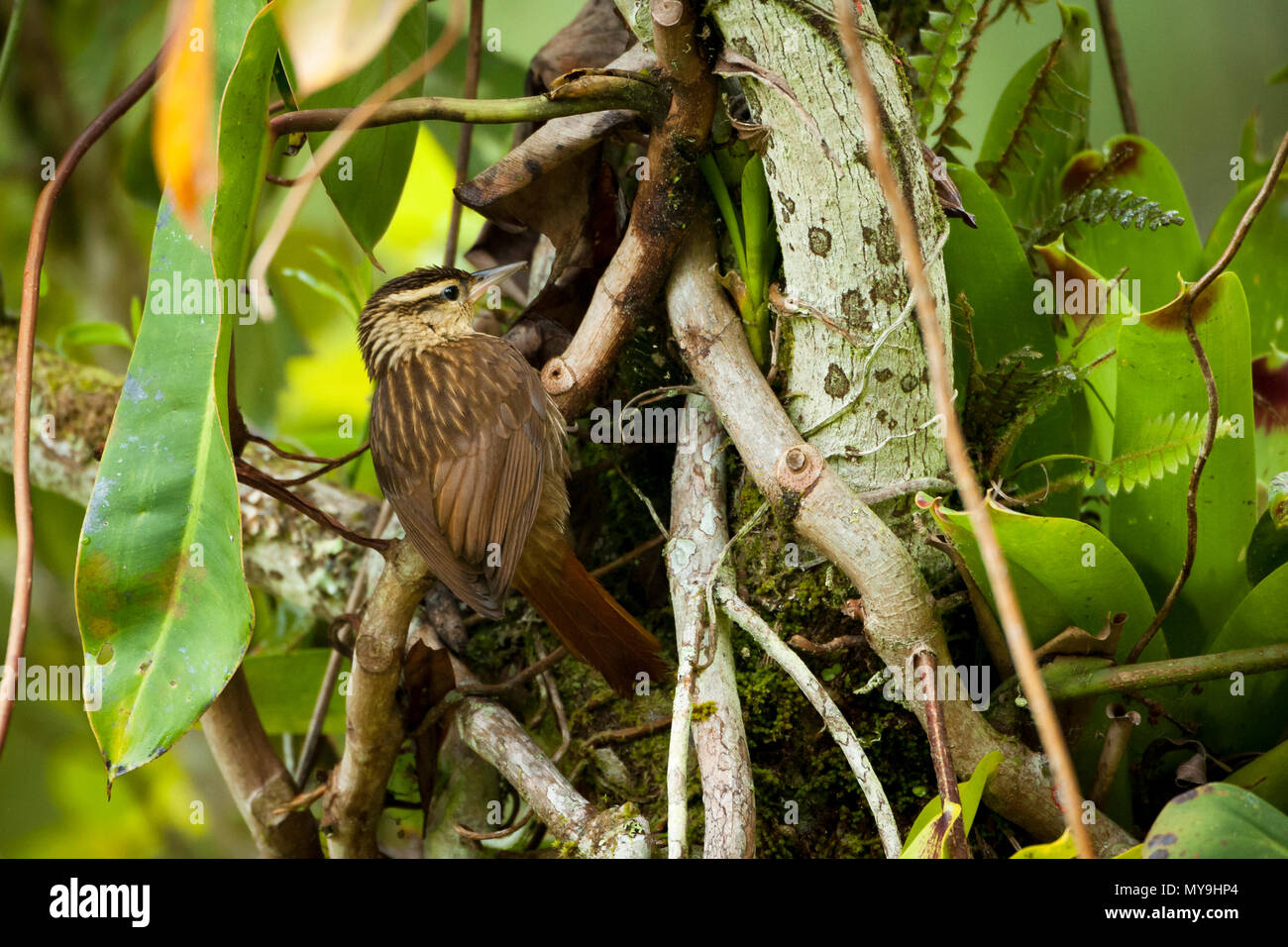 A Pale-browed Treehunter (Cichlocolaptes leucophrus) foraging for insects among bromeliads and other epiphyte growth in the Atlantic Rainforest. - Stock Image