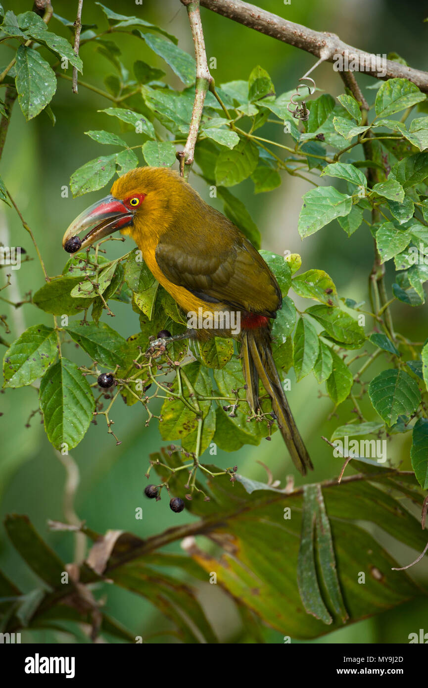 A Saffron Toucanet (Pteroglossus bailloni) eating fruits from the Atlantic Rainforest of SE Brazil - Stock Image