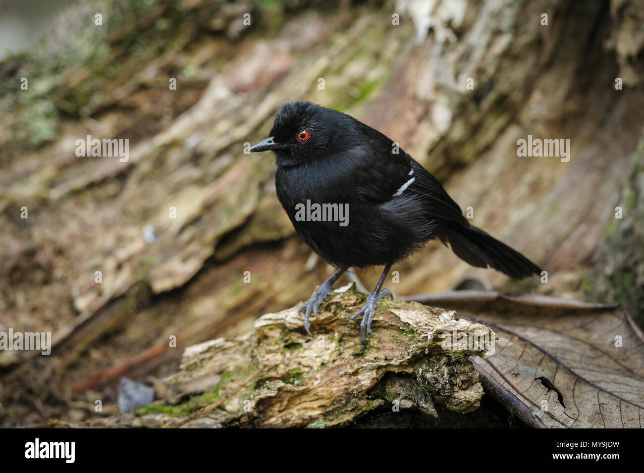 Male White-shouldered Fire-eye (Pyriglena leucoptera) from the Atlantic Rainforest - Stock Image