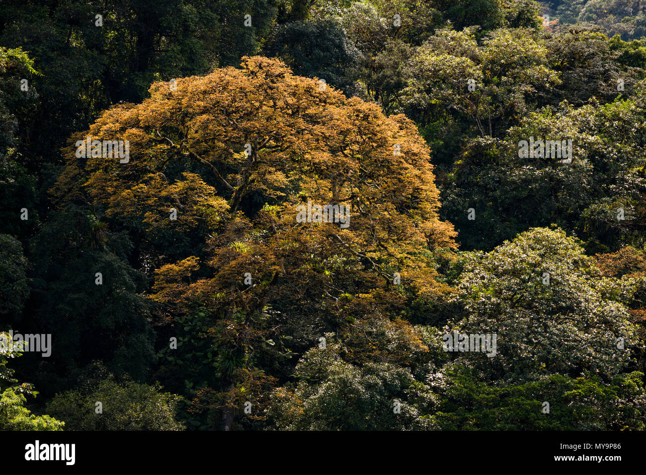 Big Jatobá trees (Hymenaea courbaril) with colorful new leaves, in primary Atlantic Rainforest of SE Brazil. - Stock Image