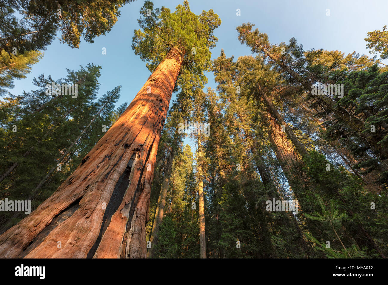Giant Sequoia Trees - Stock Image