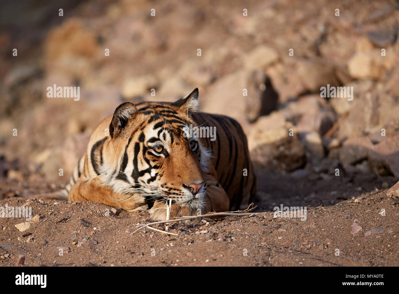 Tiger Cub - Stock Image
