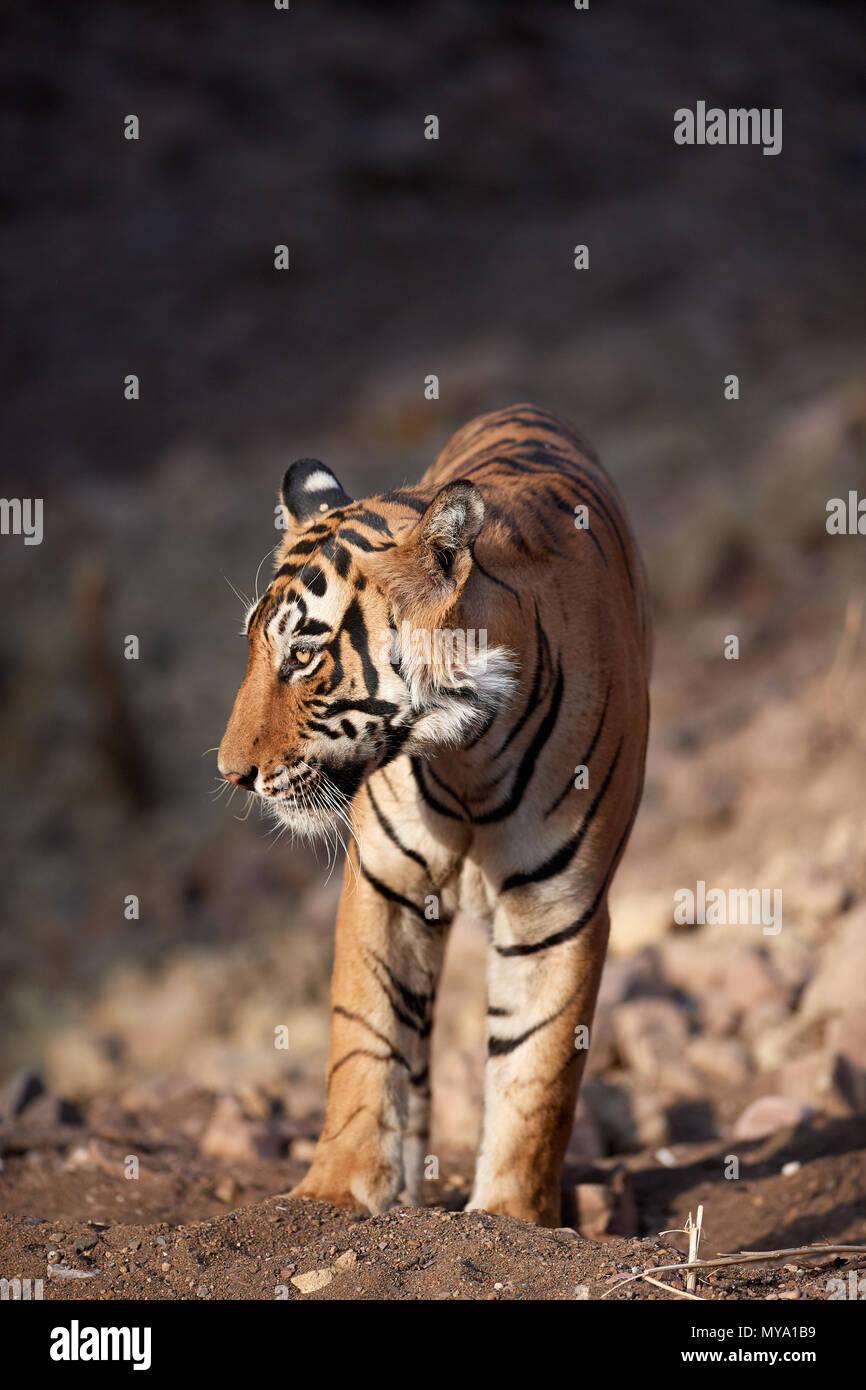 Tiger Cub - Stock Image