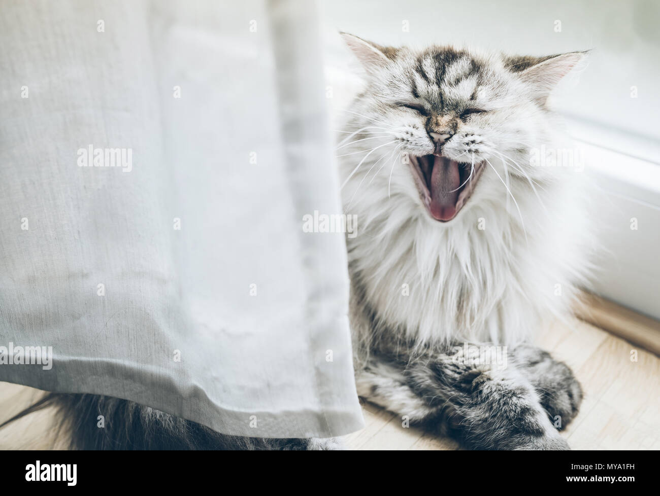 yawning fluffy cat on wooden floor behind curtain - Stock Image