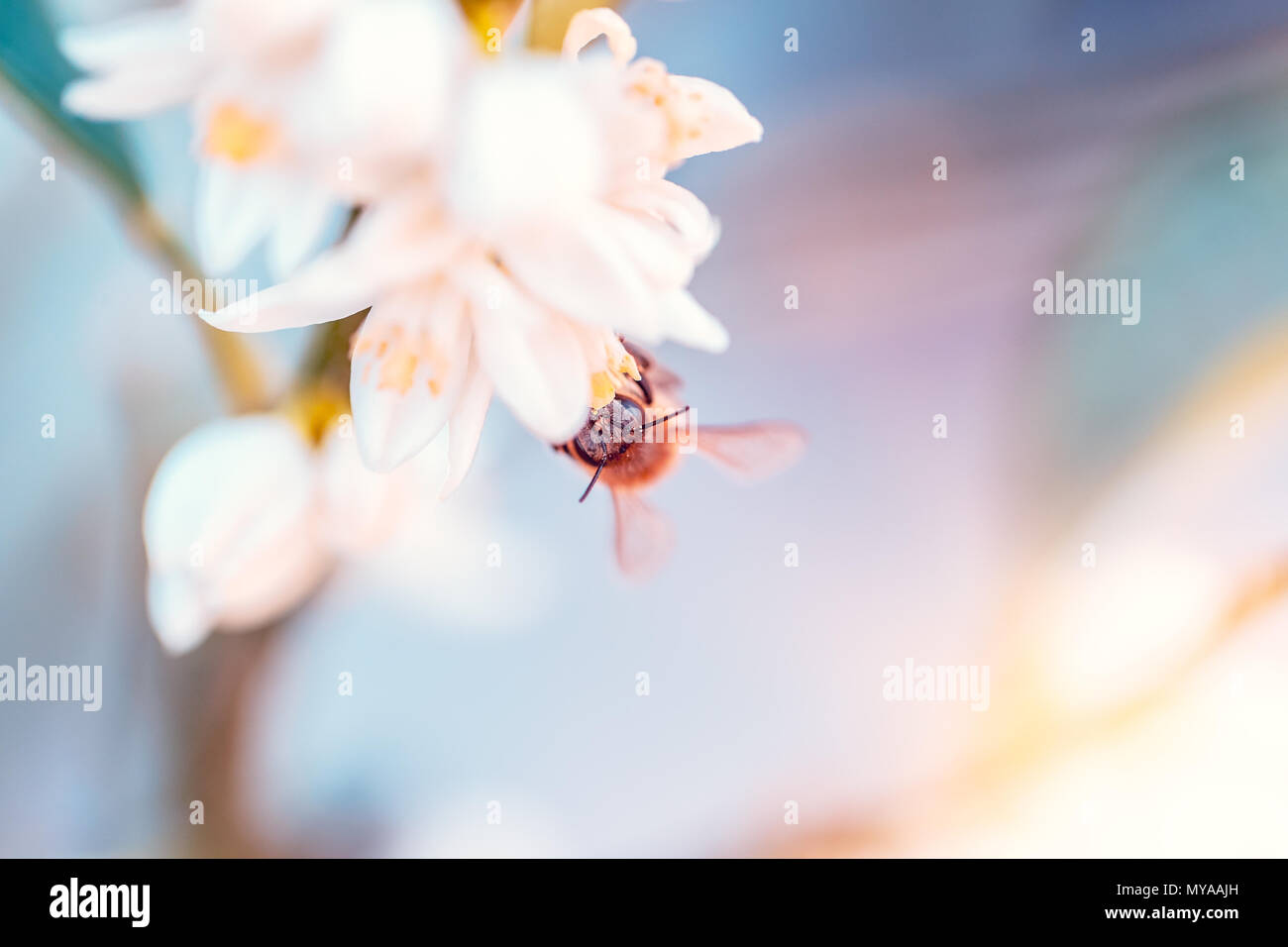 Little bee pollinates mandarin flowers, cute little insect sitting on white gentle flowers, abstract natural background, beauty of spring nature - Stock Image