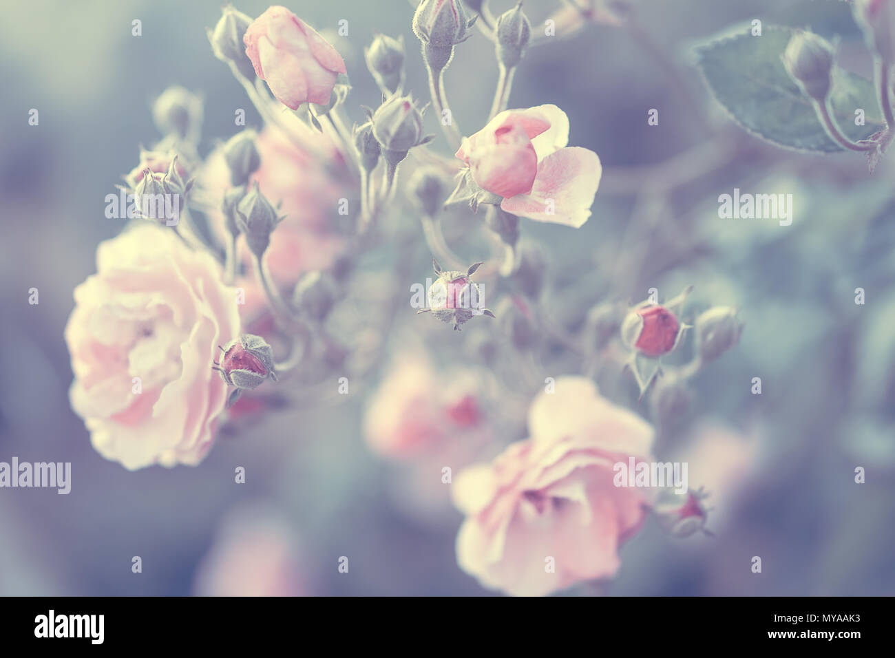 Pastel rose background, vintage style photo of a tender pink rose bush, fine art flowers, beautiful floral wallpaper