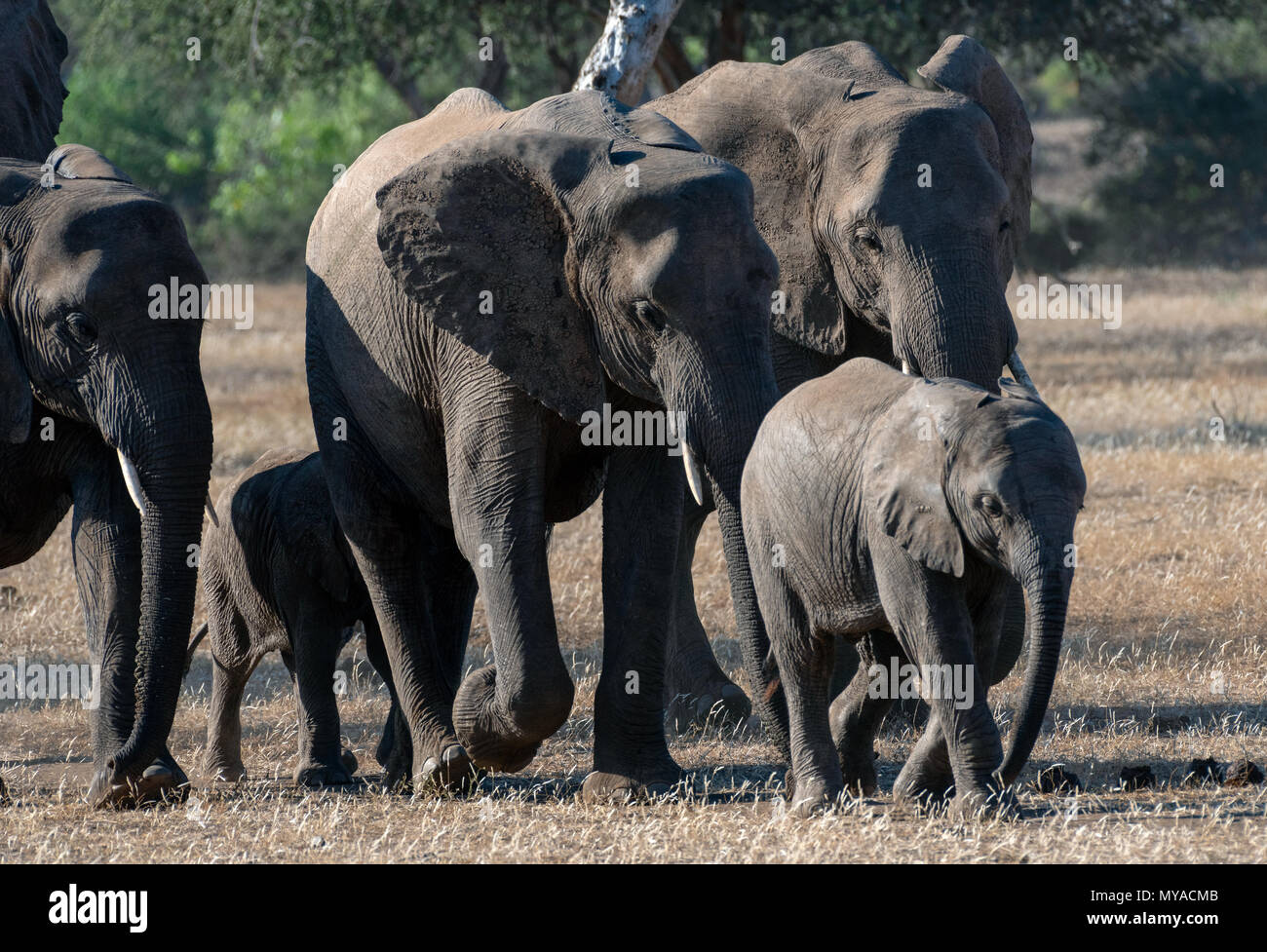 Elephant herd on the move in the Mashatu Private Game Reserve in Botswana - Stock Image
