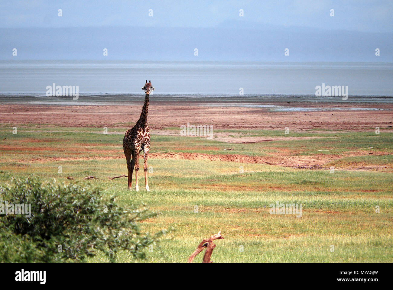 Giraffe in lake Manyara national park, Tanzania © Antonio Ciufo - Stock Image